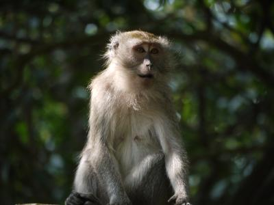 Monkey at Telaga Warna
