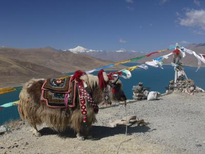 Yak at a pass above Nam-tso lake