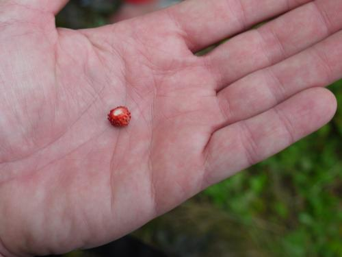 Wild strawberries are very small